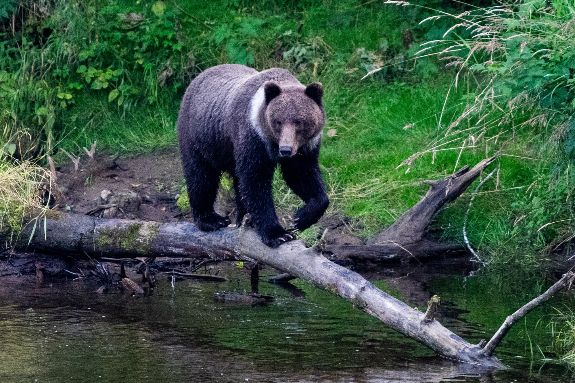 Black bear crossing a stream