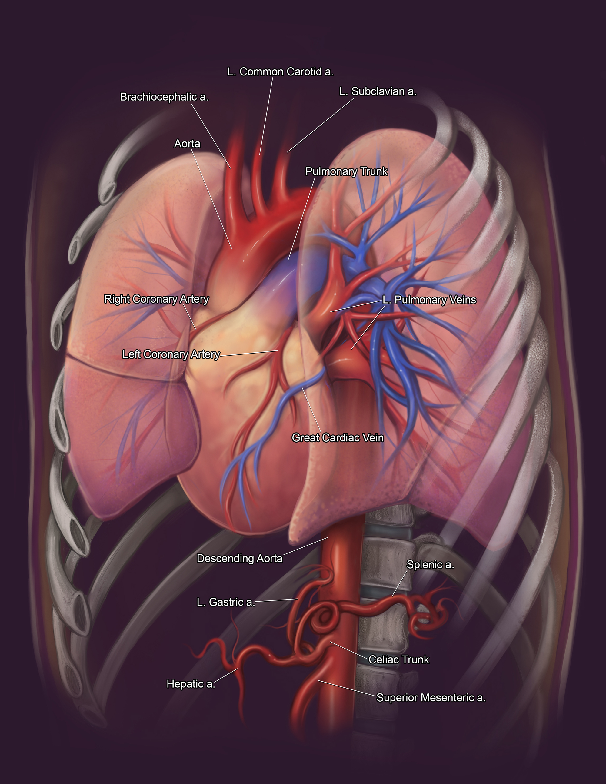 A detailed illustration of the heart.