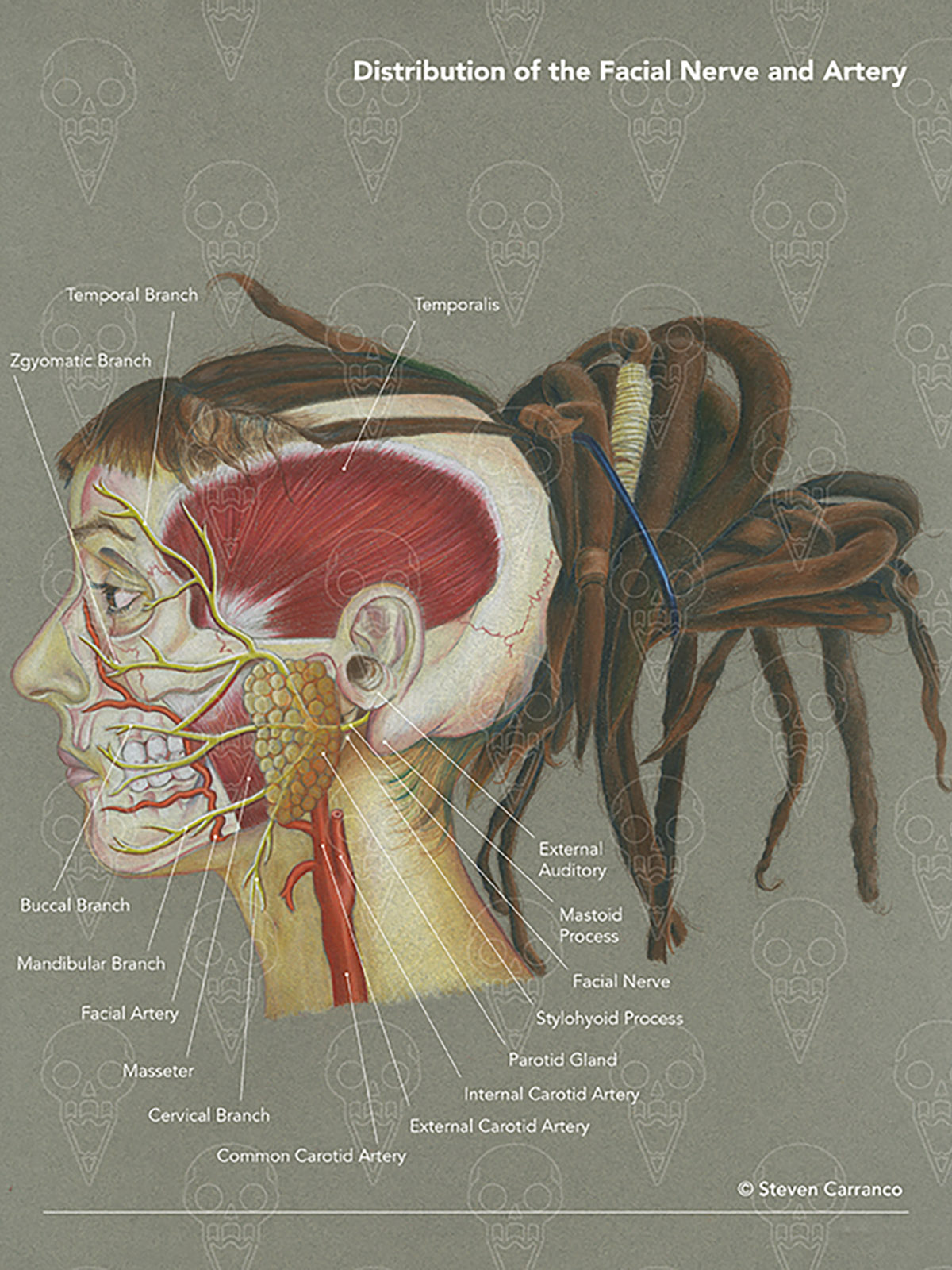 Illustration of the facial nerve and artery.