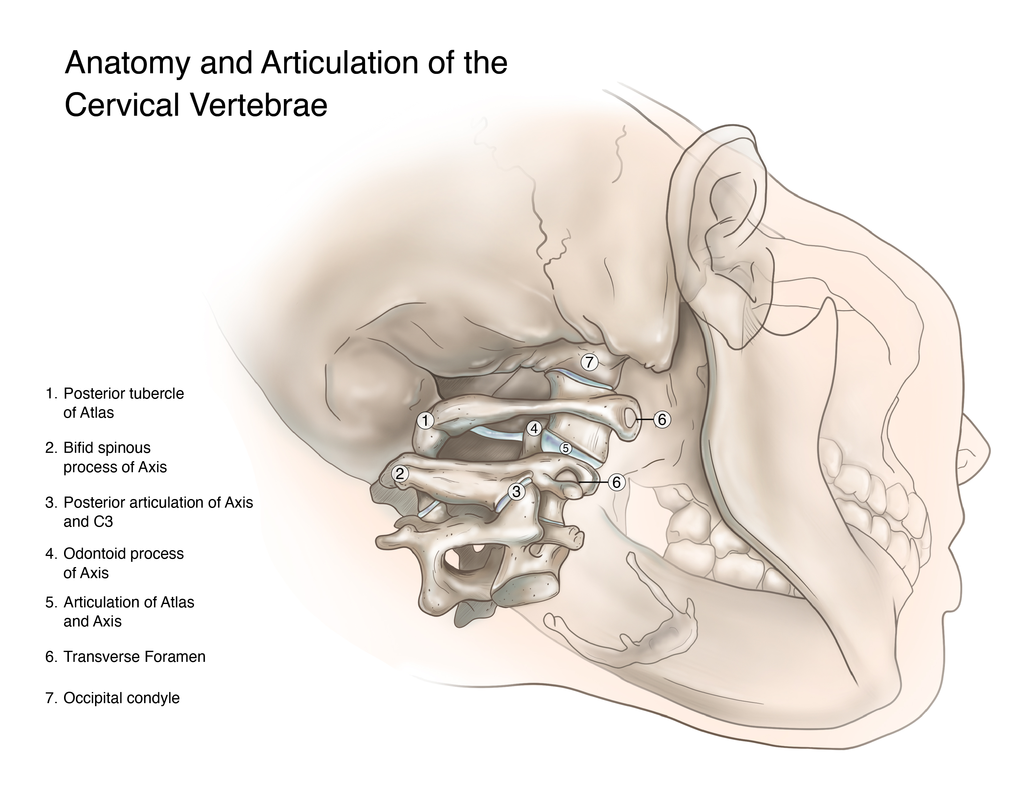 An illustration laying out the different parts of the cervical vertebrae.