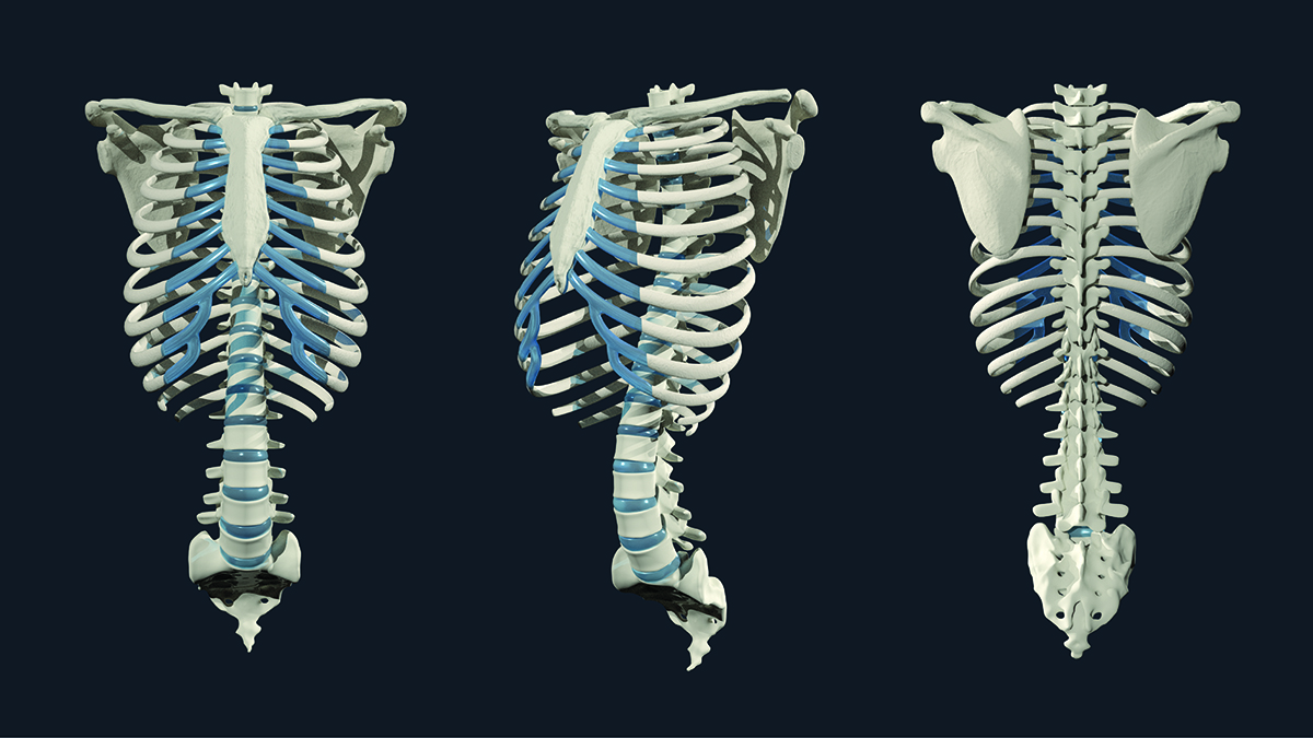 A skeletal model illustrated by Ashley Mastin.