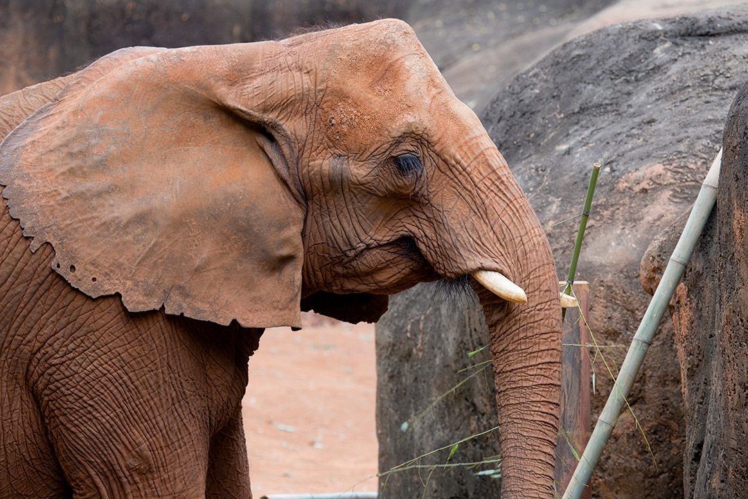 Side profile of a small brown elephant.