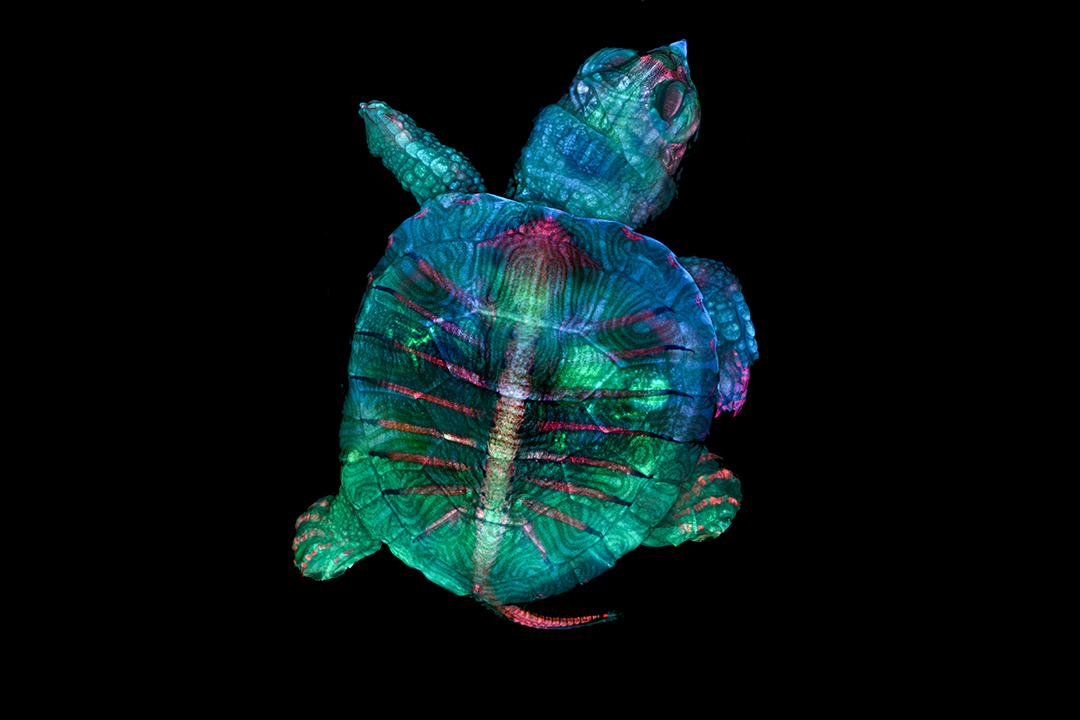 An image of a fluorescent turtle embryo that won first place in the 2019 Nikon Small World photomicrography competition.