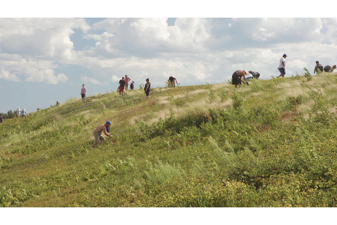 An image of people harvesting wild blueberries in a field.