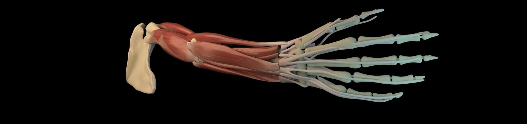 Artist's medical illustration of the bones, muscles, ligaments, and tendons in a human arm.