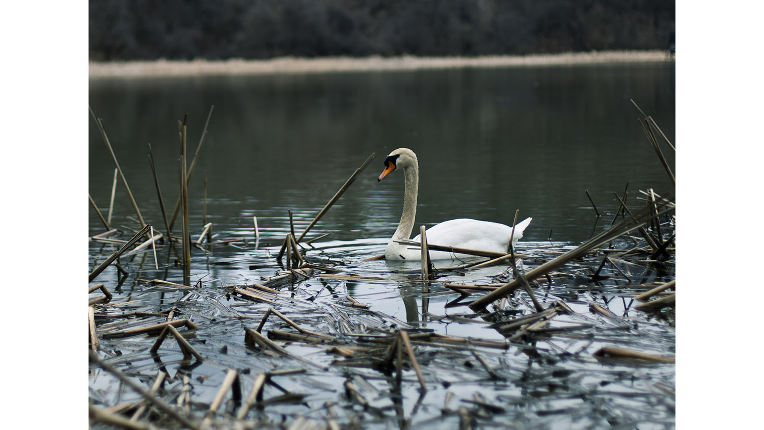 A photo of a swan in the water next to tree brush.