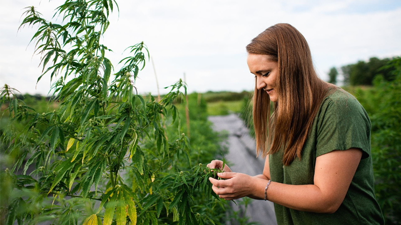 Ali Cali at Cornell AgriTech studying a hemp plant